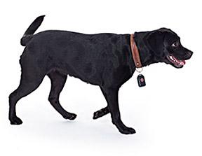 """Der GPS-Sender f�r Hunde von """"Wo ist Lilly?"""" wiegt leichte 50 Gramm und beeintr�chtigt den Hund zu keiner Zeit."""